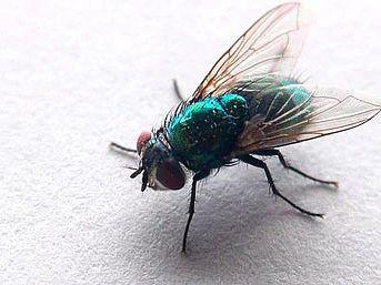 Kötü koku sinekleri neden çeker ?
