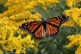 Kelebeklerin Ömrü